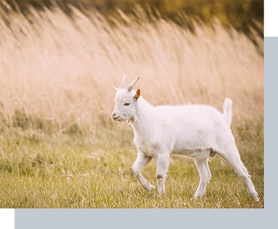 kid goat grazes in spring grass farm baby animals